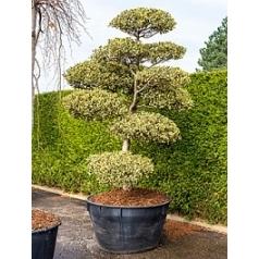Падуб (Остролист) aquifolium ferox argentea бонсай Диаметр горшка — 120 см Высота растения — 310 см