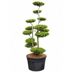 Падуб (Остролист) crenata blondie бонсай Диаметр горшка — 85 см Высота растения — 280 см