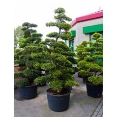 Падуб (Остролист) crenata бонсай (240-260) Диаметр горшка — 80 см Высота растения — 250 см