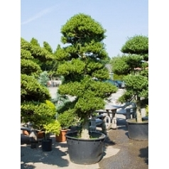 Падуб (Остролист) crenata бонсай (270-300) Диаметр горшка — 80 см Высота растения — 280 см