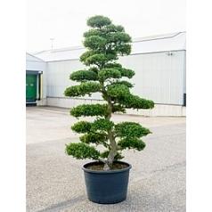 Падуб (Остролист) crenata бонсай (300-320) Диаметр горшка — 80 см Высота растения — 310 см