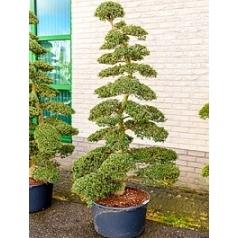 Падуб (Остролист) crenata бонсай Диаметр горшка — 65 см Высота растения — 240 см