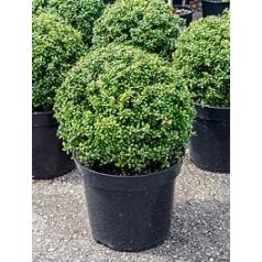 Падуб (Остролист) crenata convexa шар (40) Диаметр горшка — 35 см Высота растения — 50 см