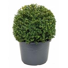 Падуб (Остролист) crenata convexa шар (50) Диаметр горшка — 40 см Высота растения — 65 см