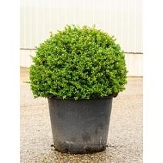 Падуб (Остролист) crenata convexa шар (70) Диаметр горшка — 50 см Высота растения — 90 см