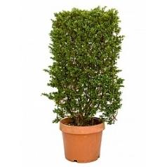 Падуб (Остролист) crenata convexa spallier Диаметр горшка — 35 см Высота растения — 115 см
