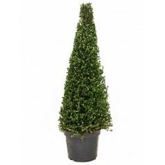 Падуб (Остролист) crenata dark green пирамида (90+) Диаметр горшка — 32 см Высота растения — 130 см