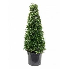 Падуб (Остролист) crenata dark green пирамида Диаметр горшка — 26 см Высота растения — 80 см