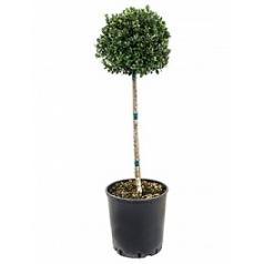 Падуб (Остролист) crenata dark green стебель/крона (20-25) Диаметр горшка — 25 см Высота растения — 80 см