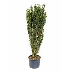 Падуб (Остролист) crenata fastiata куст Диаметр горшка — 30 см Высота растения — 140 см