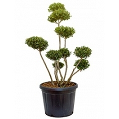 Падуб (Остролист) green hedge бонсай Диаметр горшка — 47 см Высота растения — 140 см