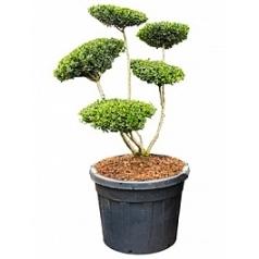 Падуб (Остролист) green hedge бонсай Диаметр горшка — 60 см Высота растения — 150 см