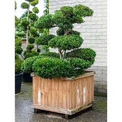 Падуб (Остролист) green hedge бонсай Диаметр горшка — 80x80 см Высота растения — 200 см