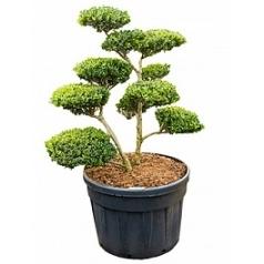 Падуб (Остролист) green hedge бонсай Диаметр горшка — 80 см Высота растения — 160 см