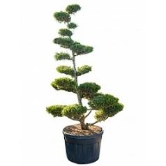 Можжевельник китайский kuriwao gold бонсай Диаметр горшка — 80 см Высота растения — 265 см