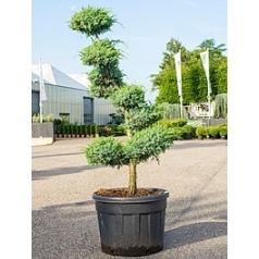 Можжевельник китайский bleu alps бонсай Диаметр горшка — 65 см Высота растения — 225 см