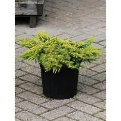 Можжевельник обыкновенный goldschatz куст Диаметр горшка — 25 см Высота растения — 40 см