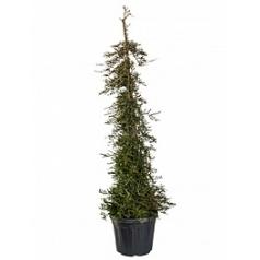 Можжевельник распростёртый prostrata пирамидаe Диаметр горшка — 45 см Высота растения — 230 см