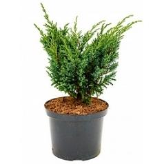 Можжевельник средний blauw куст Диаметр горшка — 23 см Высота растения — 45 см