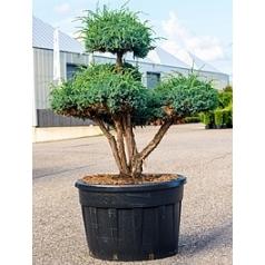 Можжевельник чешуйчатый meyeri бонсай Диаметр горшка — 85 см Высота растения — 170 см