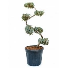 Можжевельник чешуйчатый blue carpet бонсай Диаметр горшка — 33 см Высота растения — 120 см