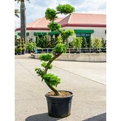 Лиственница kaempferi бонсай Диаметр горшка — 70 см Высота растения — 250 см