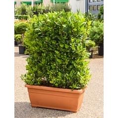 Лавр благородный hedge Диаметр горшка — 80/35 см Высота растения — 120 см