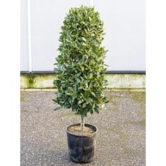 Лавр благородный стебель column Диаметр горшка — 30 см Высота растения — 150 см