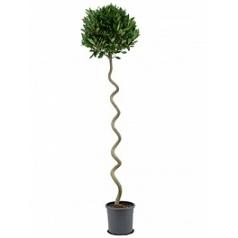Лавр благородный стебель corkscrew boll (45) Диаметр горшка — 25 см Высота растения — 190 см