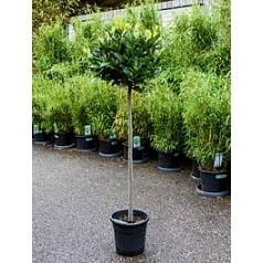 Лавр благородный стебель/шар (35) Диаметр горшка — 25 см Высота растения — 150 см