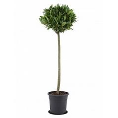 Лавр благородный стебель/шар (40) Диаметр горшка — 25 см Высота растения — 130 см