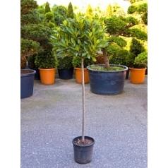 Лавр благородный стебель/шар (45) Диаметр горшка — 25 см Высота растения — 130 см