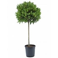 Лавр благородный стебель/шар (65) Диаметр горшка — 30 см Высота растения — 150 см