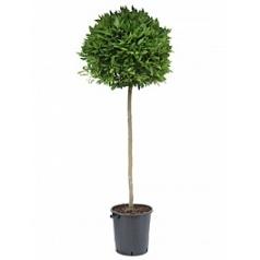 Лавр благородный стебель/шар (80) Диаметр горшка — 40 см Высота растения — 210 см