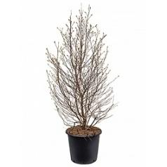 Магнолия stellata branched Диаметр горшка — 50 см Высота растения — 200 см