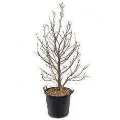 Магнолия susan branched Диаметр горшка — 50 см Высота растения — 190 см