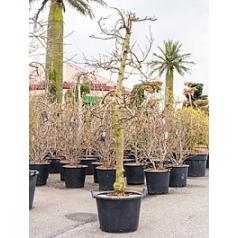 Яблоня Эльстар Диаметр горшка — 60 см Высота растения — 240 см
