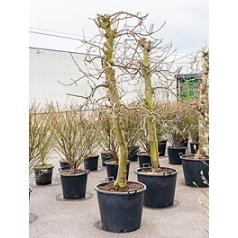 Яблоня Эльстар Диаметр горшка — 65 см Высота растения — 250 см