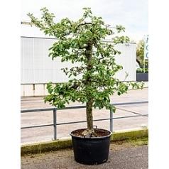 Яблоня Rode Boskoop Диаметр горшка — 80 см Высота растения — 260 см