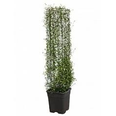 Мюленбекия com. maori column square Диаметр горшка — 26x26 см Высота растения — 130 см