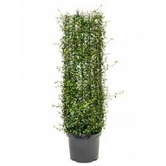 Мюленбекия com. maori cylinder Диаметр горшка — 26 см Высота растения — 100 см