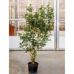 Муррайя метельчатая branched (220-240) Диаметр горшка — 38 см Высота растения — 220 см