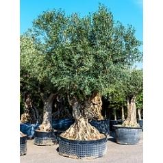 Олива европейская бонсай Диаметр горшка — 130 см Высота растения — 250 см