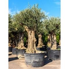 Олива европейская бонсай Диаметр горшка — 80 см Высота растения — 250 см