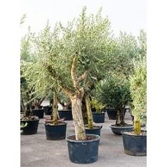 Олива европейская branched Диаметр горшка — 80 см Высота растения — 270 см