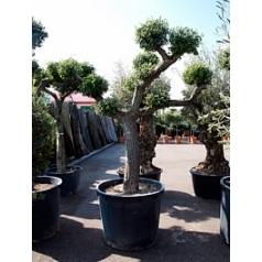Олива европейская multi шар Диаметр горшка — 90 см Высота растения — 300 см