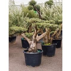 Олива европейская multi dishes Диаметр горшка — 85 см Высота растения — 180 см