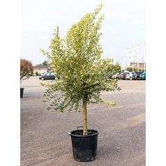 Олива европейская стебель extra Диаметр горшка — 50 см Высота растения — 190 см