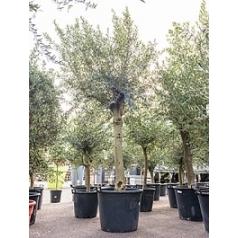 Олива европейская стебель extra Диаметр горшка — 70 см Высота растения — 270 см
