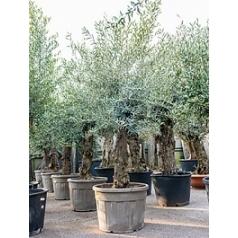Олива европейская стебель extra Диаметр горшка — 60 см Высота растения — 250 см